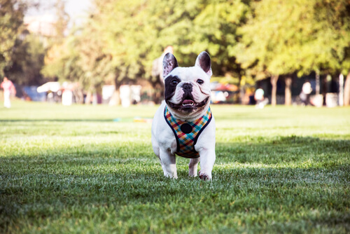 El Bulldog francés, un perro cariñoso e inteligente