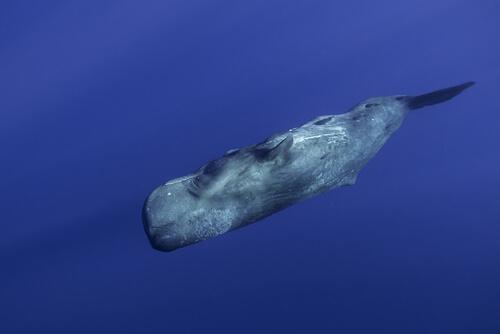 Cachalote nadando