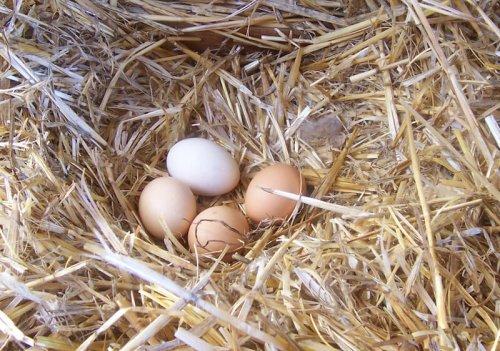 Mejora la calidad de los huevos de tus gallinas