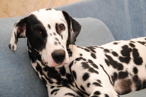 Perro dalmata tumbado en el sofa