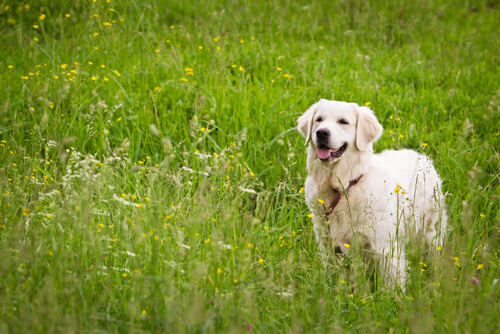 Cáncer de próstata en perros senior