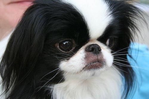 Cara de un perro chin japones