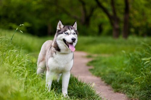 ¿En qué consiste la cirugía de cataratas en perros?