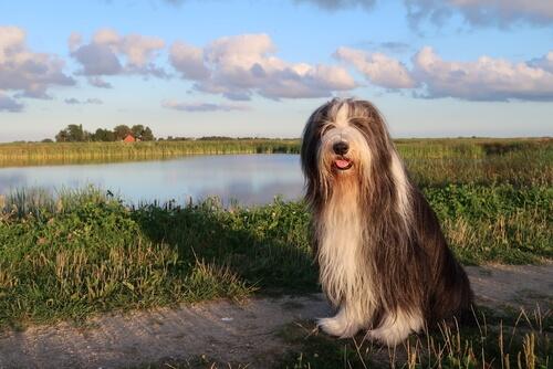 Perro collie barbudo en el campo