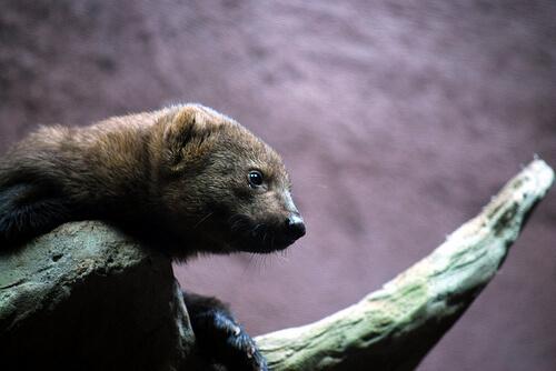 La comadreja: características, comportamiento y hábitat