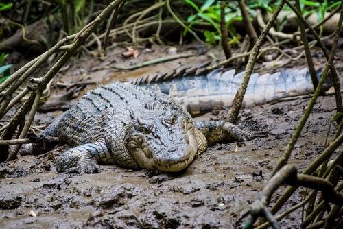 Cómo caza un cocodrilo