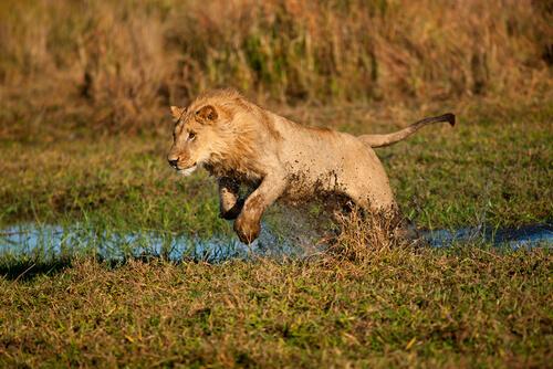¿Cómo cazan las leonas?