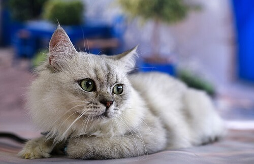 Comunicación felina: tu gato habla