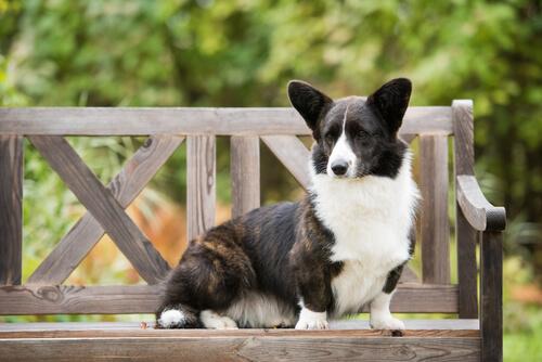 Perro corgi gales de cardigan sobre un banco
