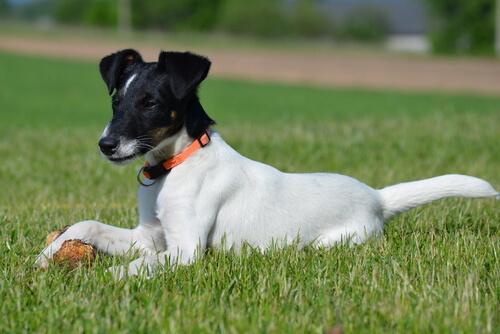 El uso de corticoides en perros