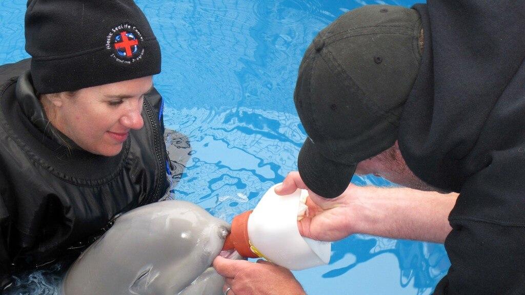 Rescatando a una cria de beluga