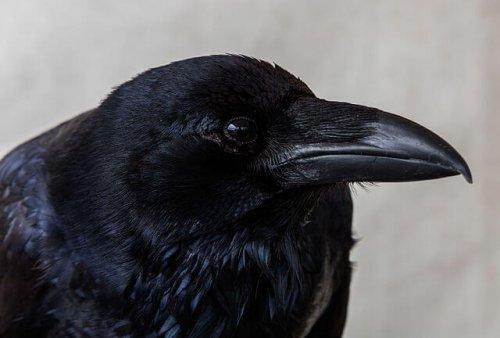 Cabeza de un cuervo