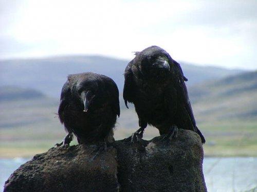 Dos cuervos