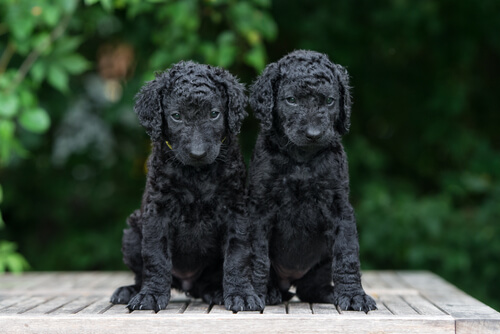 Dos cachorros de coated retriever