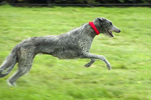 Perro deerhound escoces corriendo