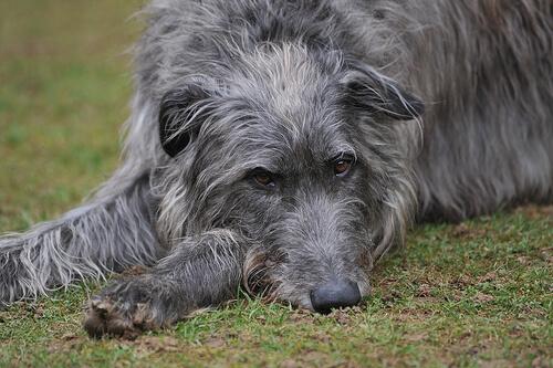 Perro deerhound escoces tumbado en el suelo