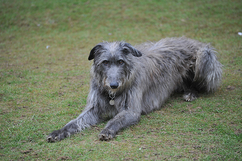 Deerhound escocés o lebrel escocés