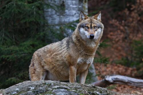 Depredador: lobo