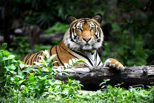 El tigre es un depredador