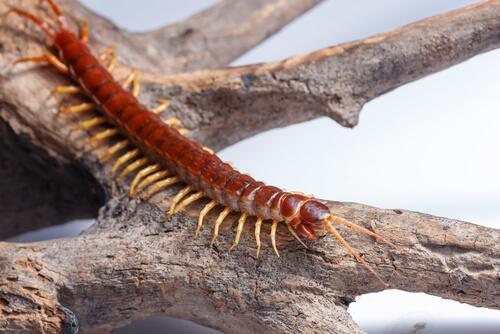 Diferencias entre vertebrados e invertebrados: ciempiés