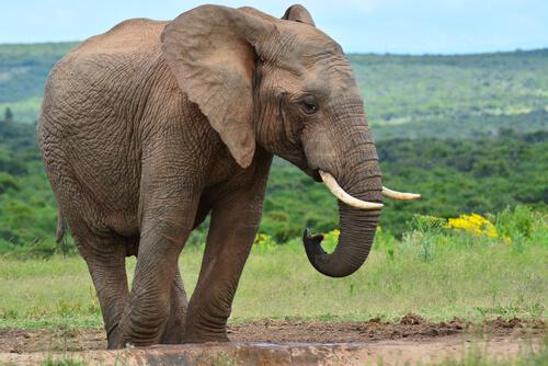 Diferencias entre vertebrados e invertebrados: elefante
