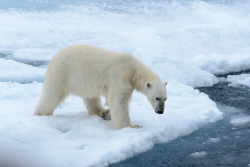 Curiosidades del oso polar