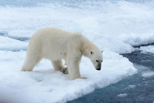 Diferencias entre vertebrados e invertebrados: oso polar