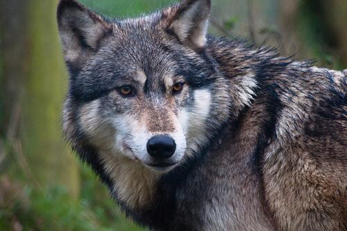 La divergencia evolutiva de los perros y los lobos