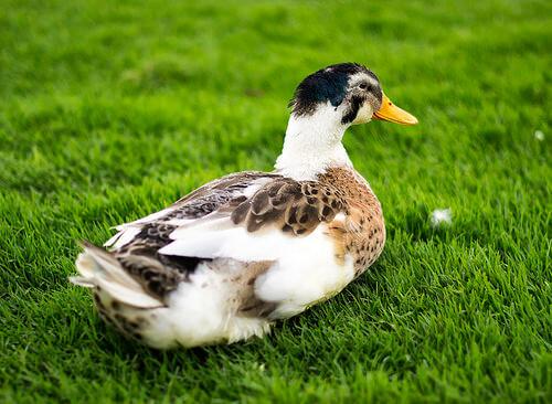 El pato como mascota: un compañero muy cariñoso