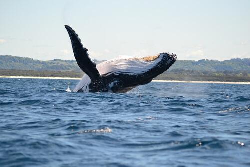 Especies de ballenas: ballena franca austral.