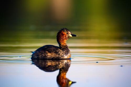 Las necesidades de un pato como mascota