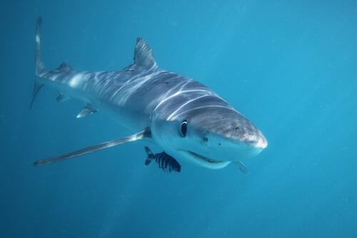 Especies de tiburones: tiburón azul