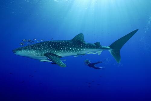 Especies de tiburones: tiburón ballena