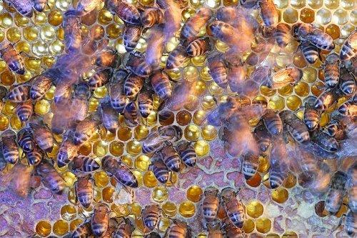 La estructura social de las abejas