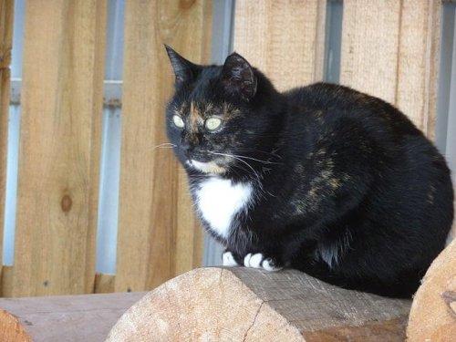 Gato bobtail sentado en un tronco