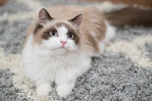 ¿Cómo adiestrar a un gato en casa?