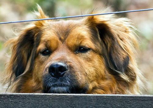 Hepatitis canina: causas, síntomas y tratamiento
