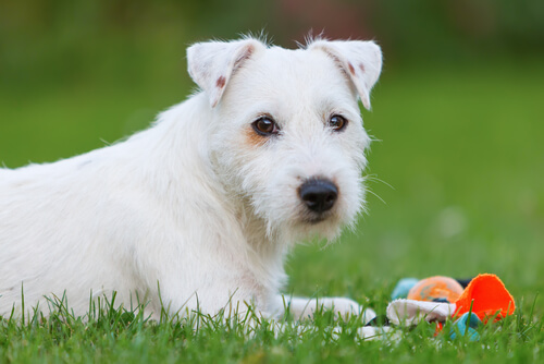 La insuficiencia mitral en perros