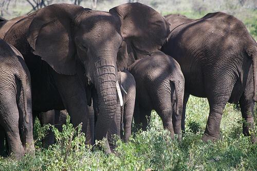 Estructura social de las manadas de elefantes