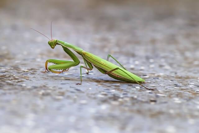La mantis religiosa puede medir hasta 10 centímetros.
