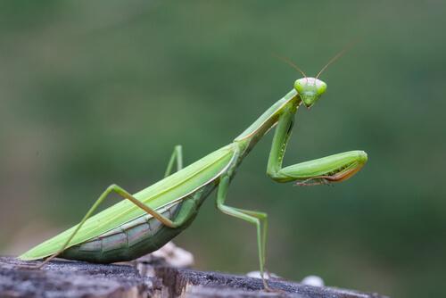 Resultado de imagen de mantis religiosa