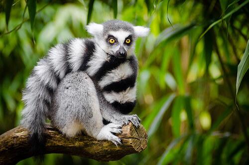 Lemur en una rama