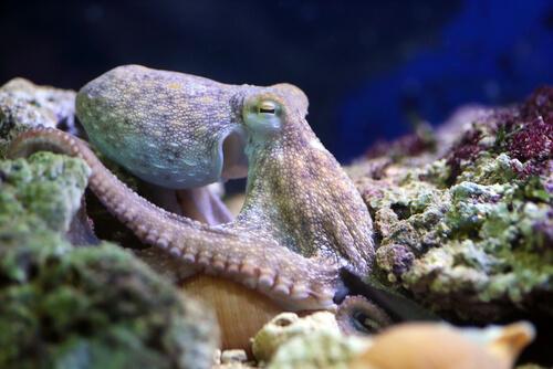 Moluscos: pulpo