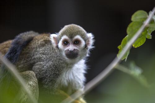 ¿Por qué no se puede tener un mono como mascota?