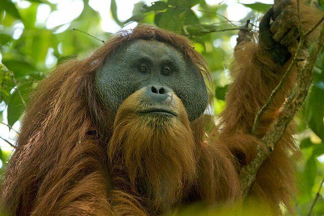 Nueva especie de orangután