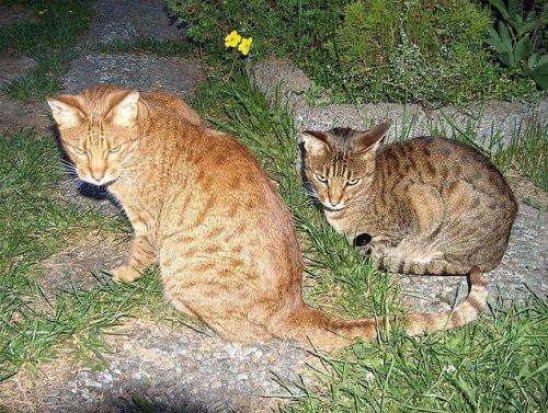 Gatos ocicat