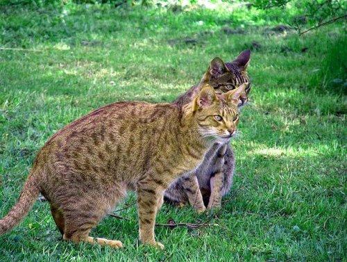 Gato Ocicat, un minino de aspecto salvaje