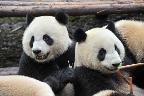 El oso panda: características, comportamiento y hábitat
