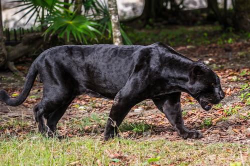 Pantera: características, comportamiento y hábitat