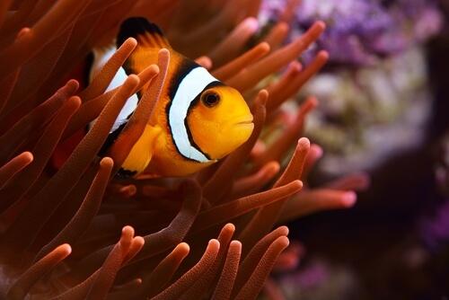 Peces de agua salada: pez payaso